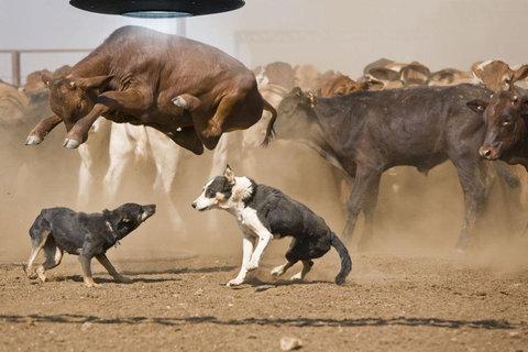 牛のジャンプ力を21