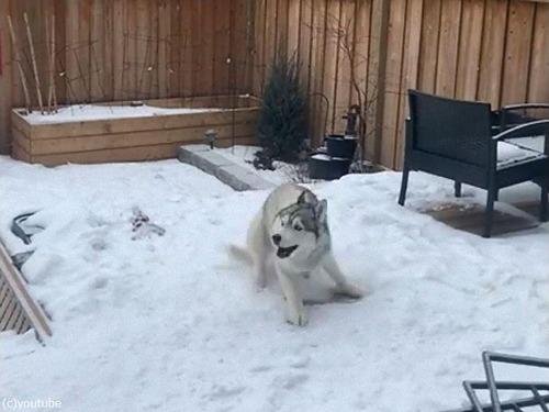 雪の上で犬がクイックターン03