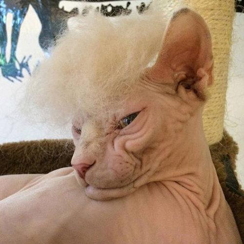 ブラッシングした猫の抜け毛をかつらに02