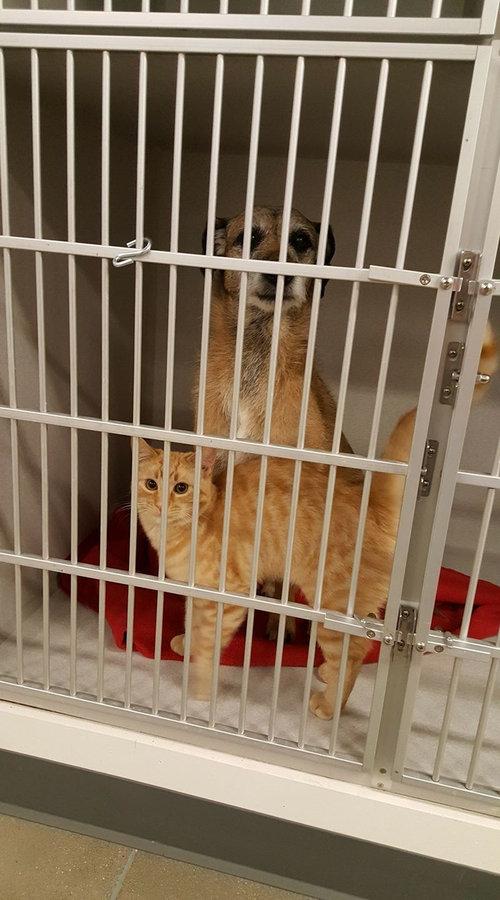 動物病院で他の動物たちを世話する猫04