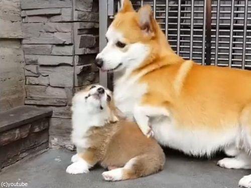 子犬に座り方を教えるコーギーの親03