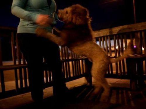 ライオンと間違えられる犬02