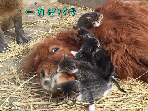 ミニチュアホースに甘える子猫たち00
