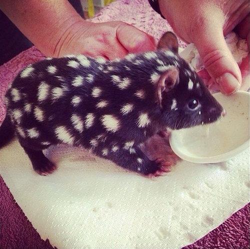 16動物の赤ちゃんたち・Baby eastern quoll