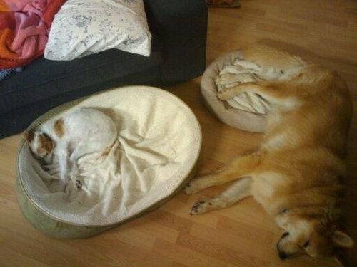 猫にベッドを奪われる犬たち14