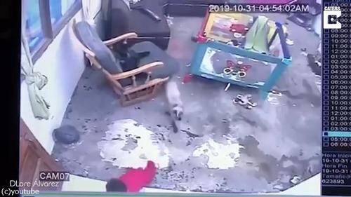 シャム猫が人間の赤ちゃんを必死に守る02