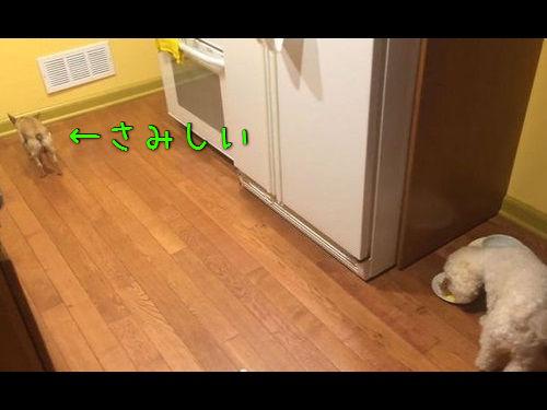 独りで食べるのが寂しい犬00