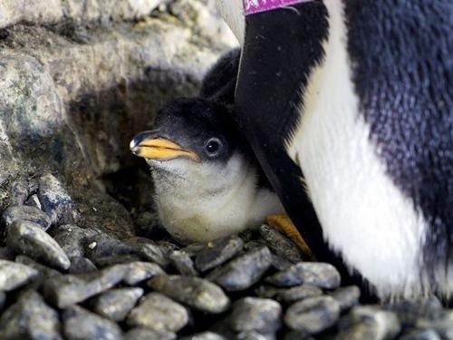 ペンギンの同性愛カップルが卵をかえす