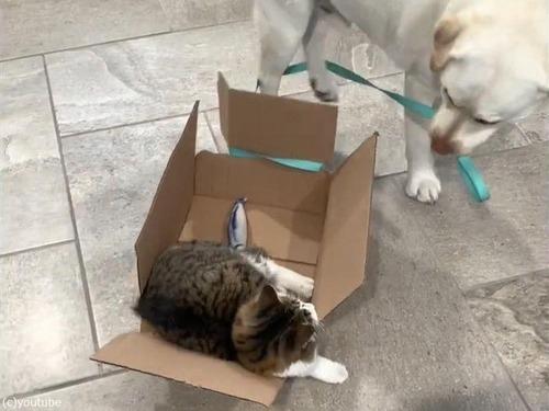 箱入りの猫を引きずる犬01