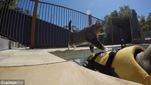 犬の背中に乗ってプール遊びをする猫01