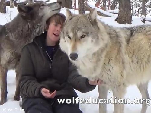 オオカミが懐きまくると…こんなにかわいい!(動画)