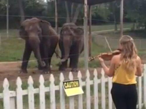 バイオリンを聴くと指揮者になりきろうとうすするゾウ2頭01