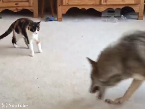 猫とコヨーテ01