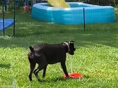 噴水のおもちゃと犬03