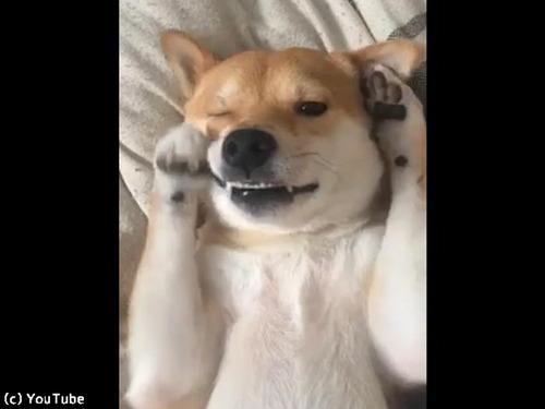 「まだ眠いの…」寝起きの柴犬がかわいい00