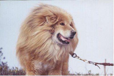 ライオンみたいなチベットの犬「...
