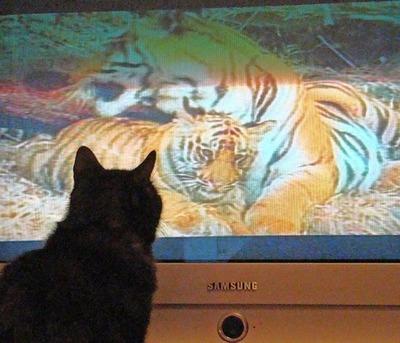 猫の番組を見つめる猫11