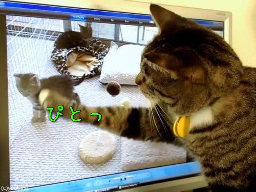 PC画面を見つめる猫00