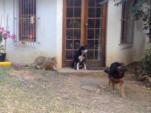 ライオンの子供が犬の背後にそろ〜り01