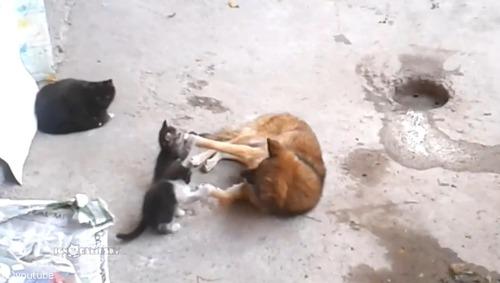 母猫が旧友の犬に会いにやって来た…子猫を連れて05