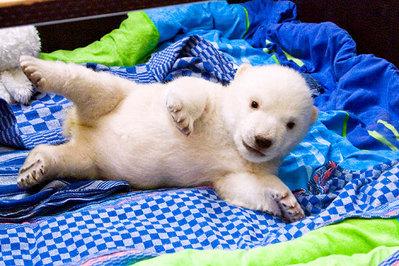 白クマの子供がかわいすぎる14
