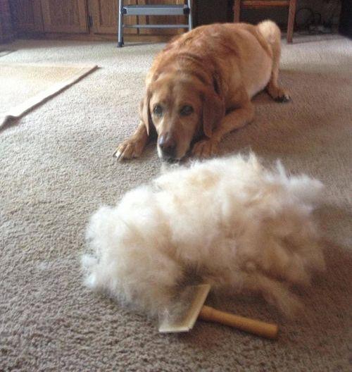 犬の毛変わり08