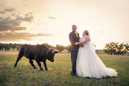 結婚写真に牛08