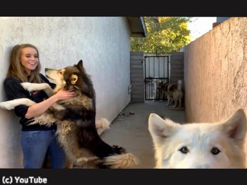 オオカミ犬、大きいけどめちゃくちゃ甘えん坊00