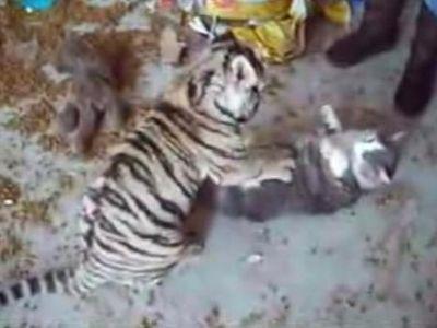 虎の赤ちゃんと猫がじゃれあうと