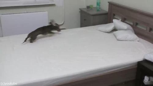 ベッドの上で遊ぶことを許可されて、大興奮するダックス02
