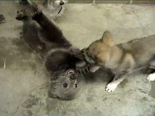 オオカミと小熊