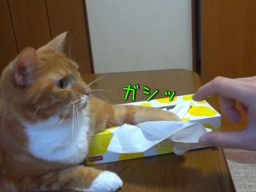 猫が鉄壁のガードでティッシュを使わせてくれない00