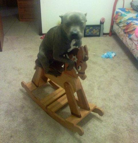 馬に騎乗する犬09