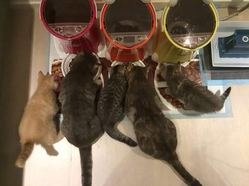 他の猫のエサを食べるデブ猫対策02