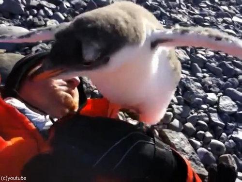 ペンギンのひなが乗ってきた03