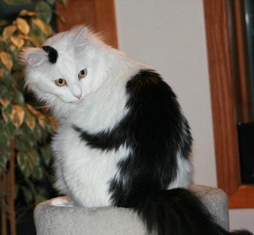 変わった毛並みの猫10