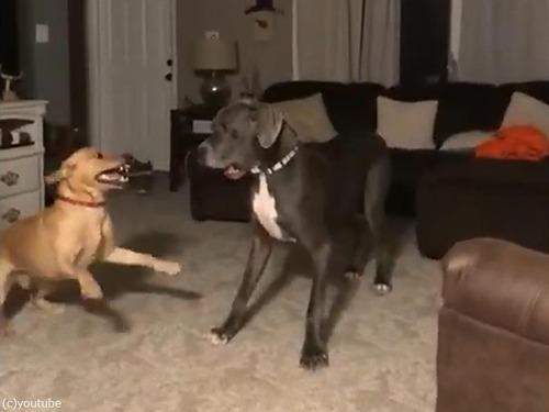 興奮すると高速スピンする犬00