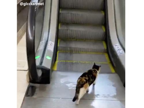 猫、エスカレーターを乗りこなす00