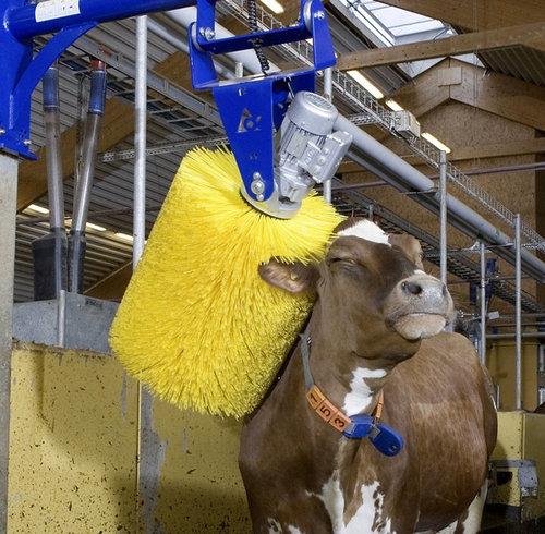 牛の新しい洗い方01