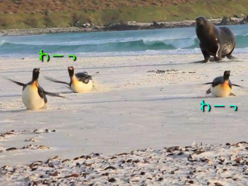アシカから逃げるペンギン00
