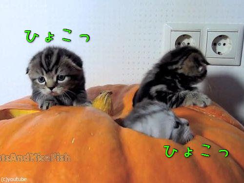 かぼちゃが猫ホイホイ00