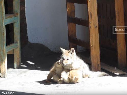 子ギツネと子猫06