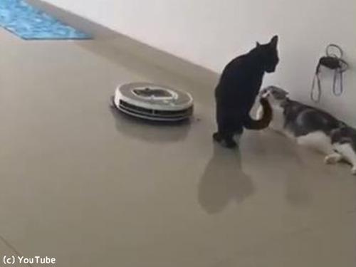 「邪魔ニャ」ケンカ中、近づいてきたルンバを押しのける猫様00