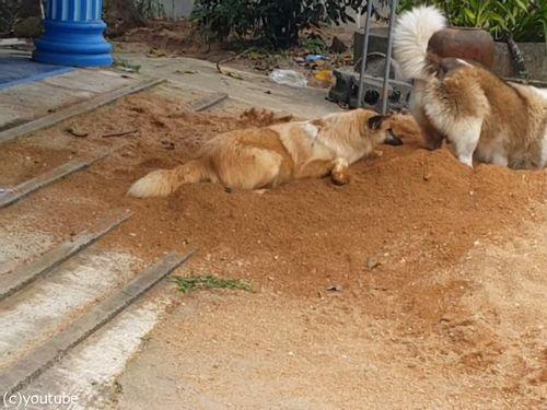 土をかぶり続ける犬04