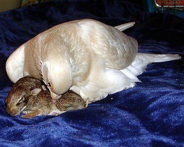 片足のハトがウサギを育てる01
