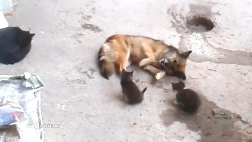 母猫が旧友の犬に会いにやって来た…子猫を連れて03