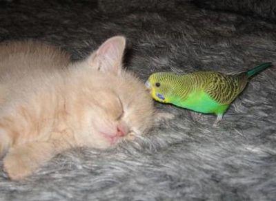 破壊力抜群の猫とインコ画像06