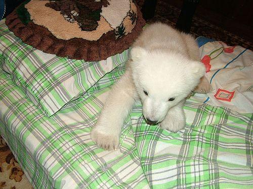 白くまの赤ちゃん04
