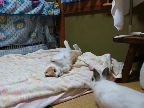 猫に挑むウサギ00