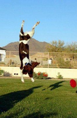 犬の身体能力凄い11